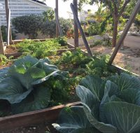 Cabbages and carrots growing at STAR Island's organic garden